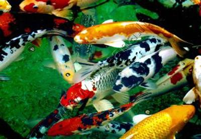 Tvenkinio žuvytės